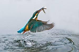 Обои Птицы Вода Рыбы Обыкновенный зимородок Брызги