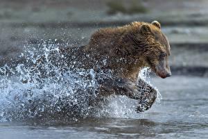 Обои Медведи Бурые Медведи Бег Брызги
