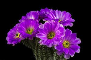Картинки Кактусы Вблизи Черный фон Фиолетовый