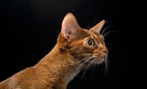 Картинка Коты Взгляд Голова Черный фон Усы Вибриссы Животные