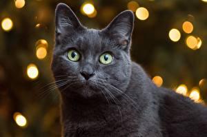 Фотографии Коты Серый Взгляд Морда