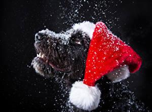 Фотография Новый год Собаки Черный фон Морда Снег Шапки Животные