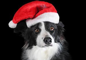 Картинка Рождество Собака На черном фоне Морда Шапки Бордер-колли животное