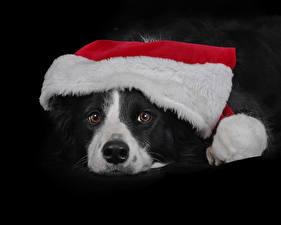 Обои Рождество Собаки Черный фон Морда Шапки Бордер-колли