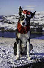 Обои Рождество Собаки Смотрит Шапки Животные