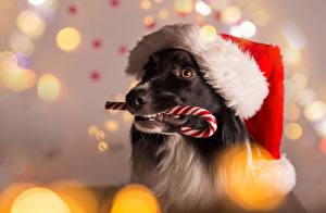 Фотографии Рождество Собаки Леденцы Шапки Бордер-колли Морда