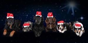 Фото Новый год Собаки Ночь Шапки Взгляд Спаниель Животные
