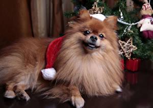 Картинка Новый год Собаки Шпиц Взгляд Животные