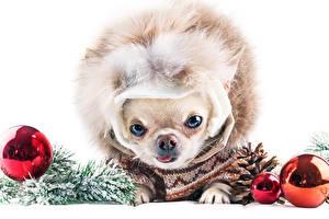 Фотографии Рождество Собаки Белый фон Чихуахуа Шар Смотрит Шишки