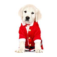 Обои Новый год Собаки Белом фоне Ретривера