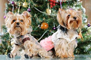 Фотография Рождество Праздники Собаки Две Йоркширский терьер Униформе животное