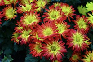 Фотография Хризантемы Вблизи Цветы
