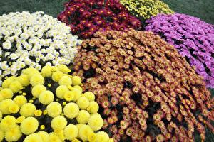 Картинки Хризантемы Вблизи Разноцветные Цветы