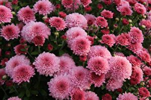 Фотографии Хризантемы Вблизи Розовый Цветы