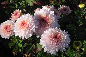 Обои Хризантемы Вблизи Розовый
