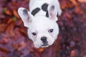 Фотографии Собаки Французский бульдог Смотрит Белый Морда Животные