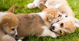 Обои Собаки Щенков Вельш-корги Животные