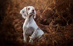 Картинка Собаки Спаниель
