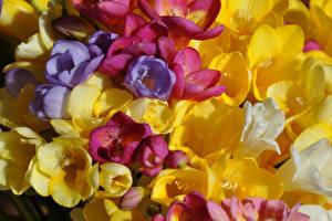 Фотография Фрезия Крупным планом Цветы