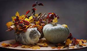 Фото Морские свинки Тыква Осень Листва Животные