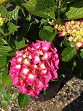 Картинка Гортензия Крупным планом Розовый Цветы