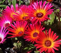 Фотография Мезембриантемум Вблизи Цветы