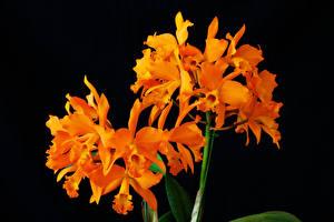 Картинки Орхидея Крупным планом Черный фон Оранжевый Цветы