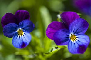 Фотографии Фиалка трёхцветная Крупным планом Цветы