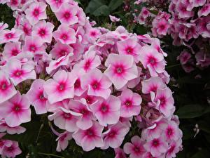 Картинки Флоксы Крупным планом Розовые цветок