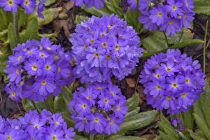 Обои Примула Вблизи Фиолетовый Цветы