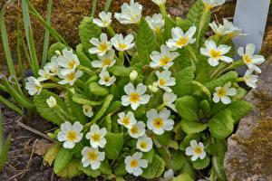 Фото Первоцвет Крупным планом Белый Цветы