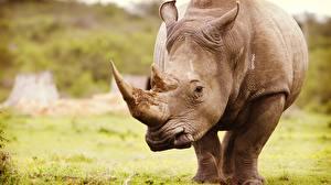 Обои Носороги Крупным планом Животные