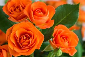 Фотография Розы Вблизи Оранжевый Цветы