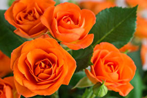 Фотография Роза Вблизи Оранжевый Цветы