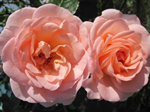Фото Розы Вблизи Розовый Двое Цветы