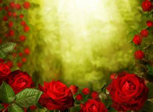 Обои Розы Вблизи Красный Цветы
