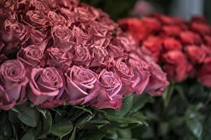 Картинки Розы Много Розовый Цветы