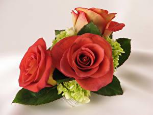 Фотографии Розы Розовый Трое 3