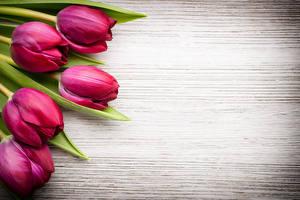 Фотографии Тюльпаны Крупным планом Бордовый Цветы