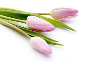 Картинки Тюльпаны Белый фон Втроем
