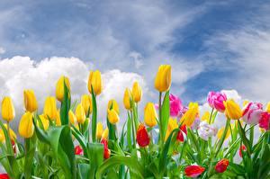Фотографии Тюльпаны Желтый