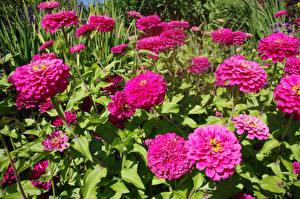 Фото Майоры Крупным планом Розовый Цветы