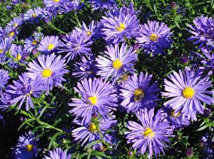 Фотография Астры Вблизи Фиолетовый Цветы