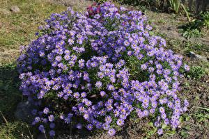 Обои Астры Много Фиолетовые Цветы