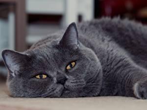 Фото Кошки Серый Взгляд Морда British Shorthair