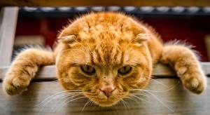Обои Коты Рыжий Голова Морда Лапы Смотрит Животные