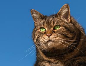 Картинка Коты Усы Вибриссы Смотрит Морда Жирный Животные