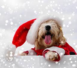 Картинка Рождество Собаки Мальтезе Шапки Язык (анатомия) Животные