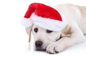 Обои Рождество Собаки Белый фон Шапки Взгляд Животные