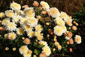 Фото Хризантемы Крупным планом Цветы